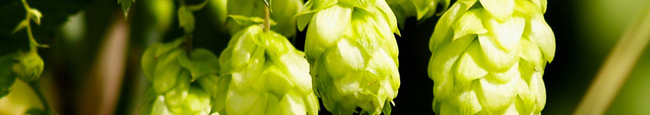 Chinese Hops